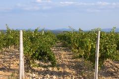 Os vinhedos crimeanos Foto de Stock
