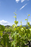 Os vinhedos em Toscânia, Itália Imagem de Stock