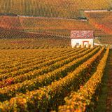 Os vinhedos no outono temperam, Borgonha, França Fotografia de Stock