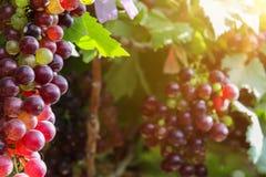 Os vinhedos no por do sol no outono colhem uvas maduras fotos de stock