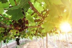 Os vinhedos no por do sol no outono colhem uvas maduras imagem de stock