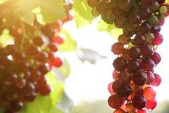 Os vinhedos no por do sol no outono colhem uvas maduras imagens de stock