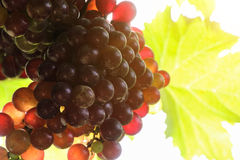 Os vinhedos no por do sol no outono colhem uvas maduras foto de stock
