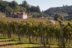 Os vinhedos Rio Grande de Pádua da nova fazem Sul Brasil Foto de Stock