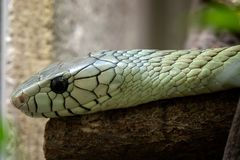 Os viridis do Dendroaspis da mamba verde Fotografia de Stock Royalty Free