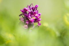 Os vlierorchis de Gele + montaram vlierorchis, orquídea Pessoa-florescida, Dact foto de stock
