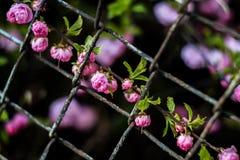 Os Wildflowers aumentaram atrás da natureza bonita da rosa do roxo do fundo do papel de parede das barras Imagem de Stock