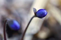 Os wildflowers bonitos da primeira mola brotam através do solo na floresta fotos de stock royalty free