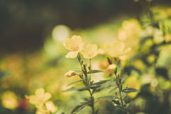 Os wildflowers bonitos feitos com um vintage macio filtram Fotografia de Stock Royalty Free