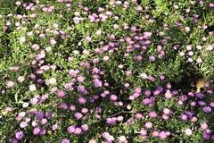 Os wildflowers da borda da estrada Imagens de Stock Royalty Free