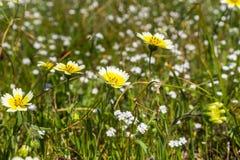 Os wildflowers do platyglossa do Layia chamaram geralmente o tidytips litoral no campo, Califórnia foto de stock
