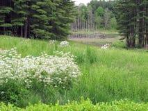 Os Wildflowers e o castor pond, Lenox, miliampère Fotos de Stock