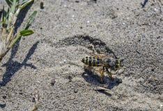 Os wykopaliska w piasku Zdjęcie Royalty Free
