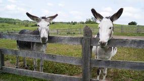 Osły i Duzi ucho Zdjęcie Stock