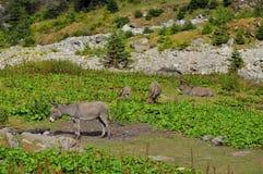Osły up w górach Zdjęcie Royalty Free