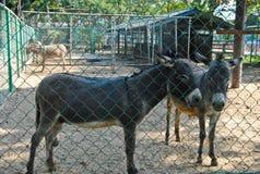 Osły w Bueng Chawak Chalermphrakiat Suphan Buri obraz stock