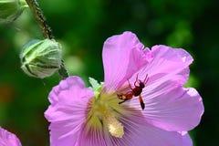 Osa ancistrocerus rodzinny obsiadanie na płatkach różowy dekoracyjny poślubnika kwiat Zdjęcie Stock