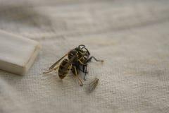 Osa bój z komarnicą na stole zdjęcia stock