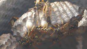 Osa insekty pod dachem domowe zarazy osy gniazdują dzikiego styl życia osy zwolnionego tempa wideo alergia kąska niebezpieczeństw zdjęcie wideo