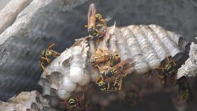 Osa insekty pod dachem domowe zarazy Osy gniazdują Dzikiej osy styl życia ruchu wideo wolnego kąsek Alergii niebezpieczeństwo zdjęcie wideo