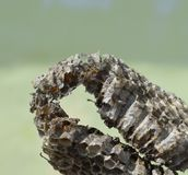 Osa miód łamał w szerszenia gniazdeczku Zdjęcie Royalty Free