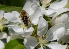Osa na białych wildflowers obraz royalty free