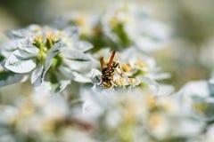 Osa na białym kwiacie zbiera miód obrazy stock