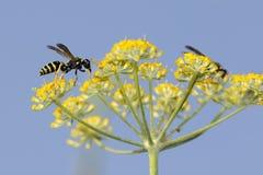 Osa na koperów kwiatach zdjęcie stock