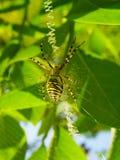 Osa pająk przy miejscem pracy, tworzy spiderwebArgiope bruen fotografia stock