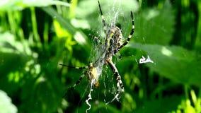 Osa pająk w swój sieci zbiory
