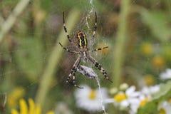 Osa pająk Obrazy Stock