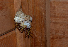 Osa szerszenia pszczoła kłaść jajeczne larwy i potecting rój, Zdjęcie Stock