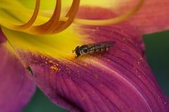 Osa zbieracki nektar na dzień lelui Fotografia Stock