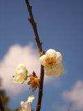 Osaceae Royalty-vrije Stock Foto's