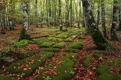Osadowe skały w bukowym lesie Obraz Stock