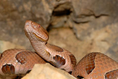 Osage Copperhead Royalty Free Stock Photo