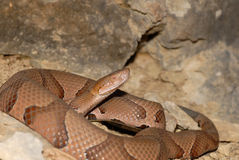 Osage Copperhead Royalty Free Stock Images