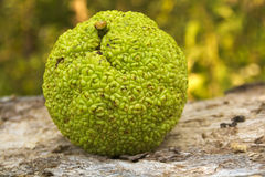Osage orange (Maclura pomifera) Royalty Free Stock Image
