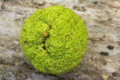 Osage orange (Maclura pomifera) Royalty Free Stock Photography
