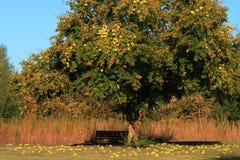 Osage Orange tree Stock Image