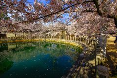 Osaka, Giappone Tempio a Osaka in primavera, stagione di fioritura, fiori di ciliegia immagine stock