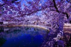 Osaka, Japão Templo em Osaka na mola, estação de florescência, flores de cerejeira fotografia de stock royalty free