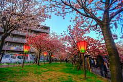 Osaka, Japan. Beautiful light and colours of Japanese lanterns and cherry blossoms. In Cherry-Blossom Viewing Festival stock images