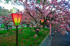 Osaka, Japan. Beautiful light and colours of Japanese lanterns and cherry blossoms. In Cherry-Blossom Viewing Festival stock photos