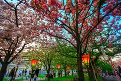 Osaka, Japan. Beautiful light and colours of Japanese lanterns and cherry blossoms. In Cherry-Blossom Viewing Festival stock image