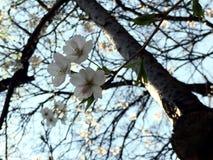 Osaka Sakura fotos de archivo libres de regalías