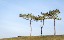 Osamotneni drzewo chojaki na wierzchołku wzgórze w lecie z niebieskim niebem zdjęcia stock