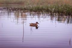 Osamotneni kaczka gąszcze płochy w jeziorze Obraz Royalty Free