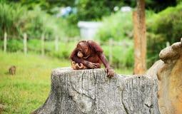 Osamotneni Orangutans Zdjęcie Stock