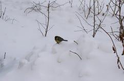 Osamotneni ptasi chickadee zerknięcia Zdjęcia Royalty Free